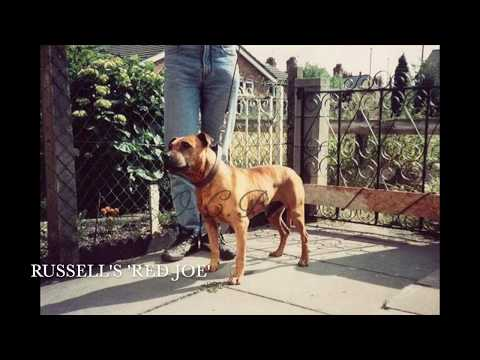 Dublin Red Staffordshire Bull Terriers