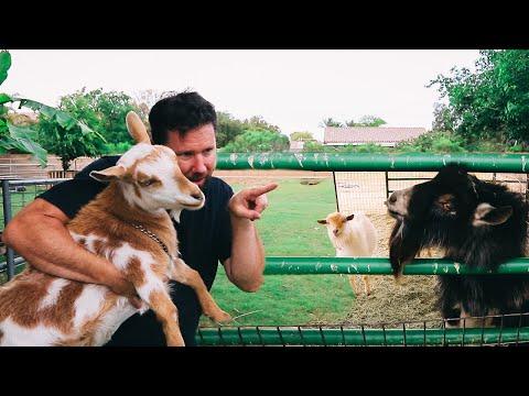 We Let Our Goat Choose Her Boyfriend