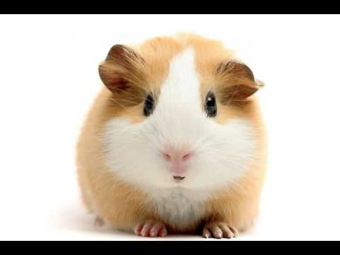 Happy Birthday! - Funny Birthday Songs (Gary the Guinea Pig)