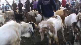 Download Video Pasar Jual Beli Kambing MP3 3GP MP4