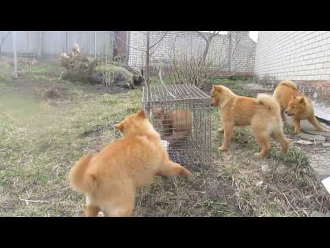 видео: Первое знакомство щенков карело-финской лайки с куницей