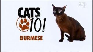 Порода кошек Бурманская