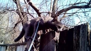 Кошка гуляет по забору. Кошка на поводке. Прогулка с кошкой. Весна 2019