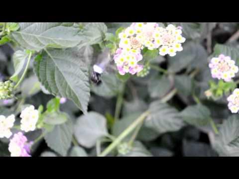 colibrí mariposa  rara de ver
