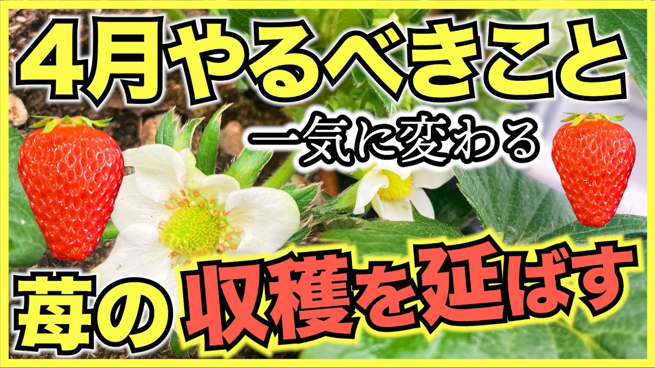 家庭菜園のイチゴ栽培で4月にやるべきこと,管理方法と注意点【水やり,温度管理,ランナー取り,病気と害虫対策】