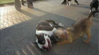 Rudy, The Boston Terrier, Is A Gentle Man