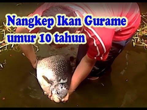 Kuwalahan... Ikan Gurame 10 Kilo