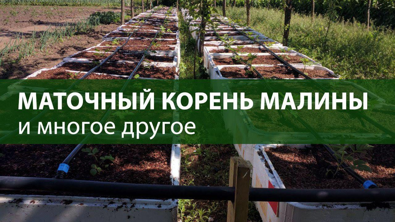 Элитные саженцы малины для закладки маточников в ф х Батькив сад .