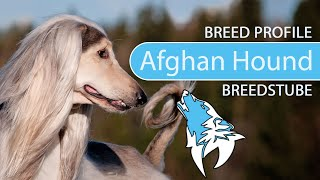 Afghan Hound  Breed, Temperament & Personality