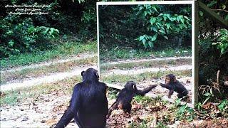 Baby chimp : learn of mirror progress - Au Gabon, un bébé chimpanzé apprend les propriétés du miroir