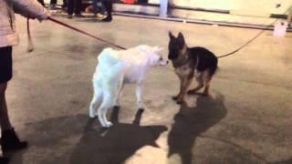 Как моя собака по породе Акита ину побывала в первый раз на выставке.