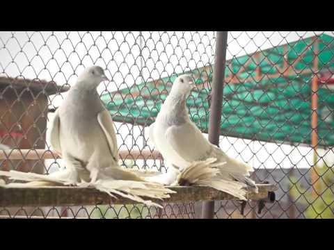 Бойные голуби г. Канск Красноярский край HD