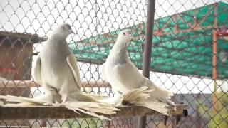 Бойные голуби 2014 г. Канск