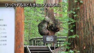 秋田201【コブ杉】上小阿仁村《天然杉の力こぶ》