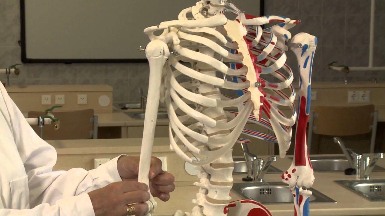 emberi kerek féreg test felépítése