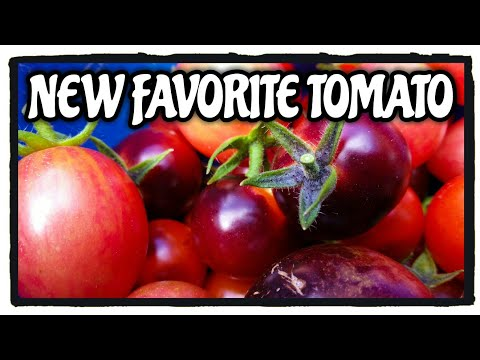 my-new-favorite-tomato-|-blue-berries-cherry-tomato-from-baker-creek-seed-company