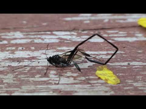 Scorpion Wasp Pelecinus