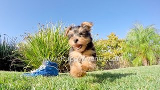 Rufus The Handsome Yorkshire Terrier Male Puppy For Sale Near San Marcos, Ca.