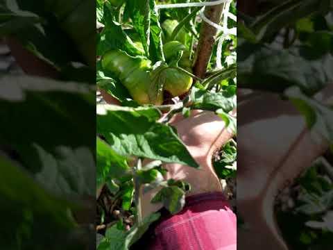 Обзор сорта томата бизон черный.  15 июля 2019