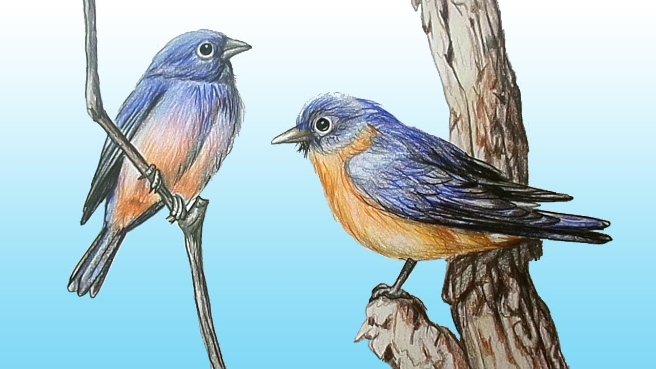 How To Draw Realistic Eastern Bluebirds Step By Step Easy