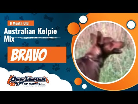 "Australian Kelpie Mix ""Bravo"" 