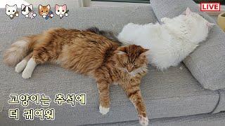 쵸비 체다 크리미 라이브 - 고양이는 추석에 더 귀여워