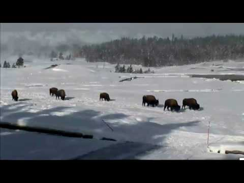 @Yellowstone Bison & Coyote search for food. 12/26/2016
