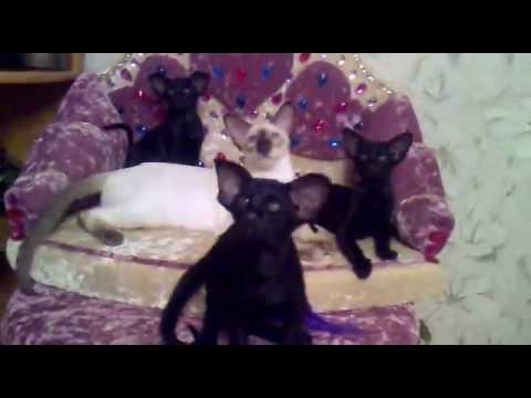 Ориентальные котята эбони -пантерки))Герри и Грей и Грэм