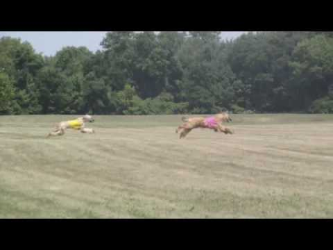 Twyshire Afghan Hound Puppies ASFA Lure Coursing Cert Run ... Afghan Hound Lure Coursing