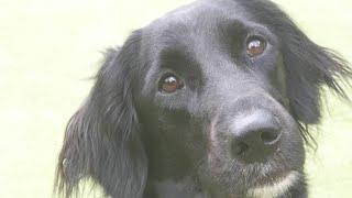 Köpek Eğitimi Okulu | Labrador Mix Köpek Eğitimi!