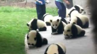 feeding the baby pandas