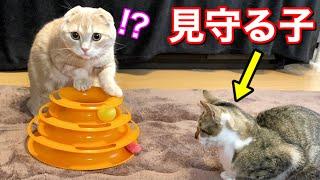 オモチャ愛が強すぎる短足猫と見守る子猫
