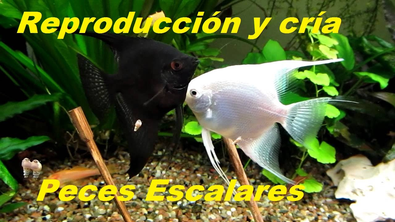 Reproducci n escalares pez angel youtube for Reproduccion en peces