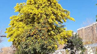 #Spain Древний монастырь Испании, мимоза. The ancient monastery of Spain, mimosa.