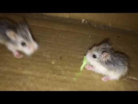 Roborovski Hamster Babies Playing Time
