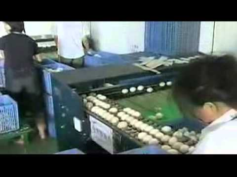 Egg Grading Machine