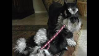Kira & Kahless -  Tug Of War - Miniature Schnauzers - Show Off Pet.wmv
