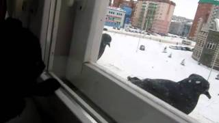 черный котенок на окне.MOV