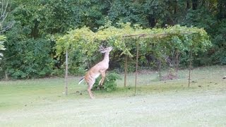 Aaron - Rescued Deer & Grape Vine By The Lighthouse Lady