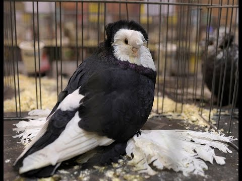 Fancy Pigeon Breeds - Part  1