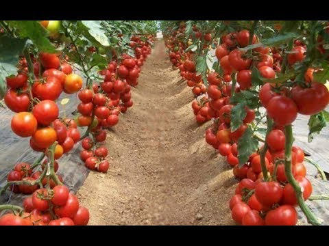 WOW! Amazing Agriculture Technology  - Tomato