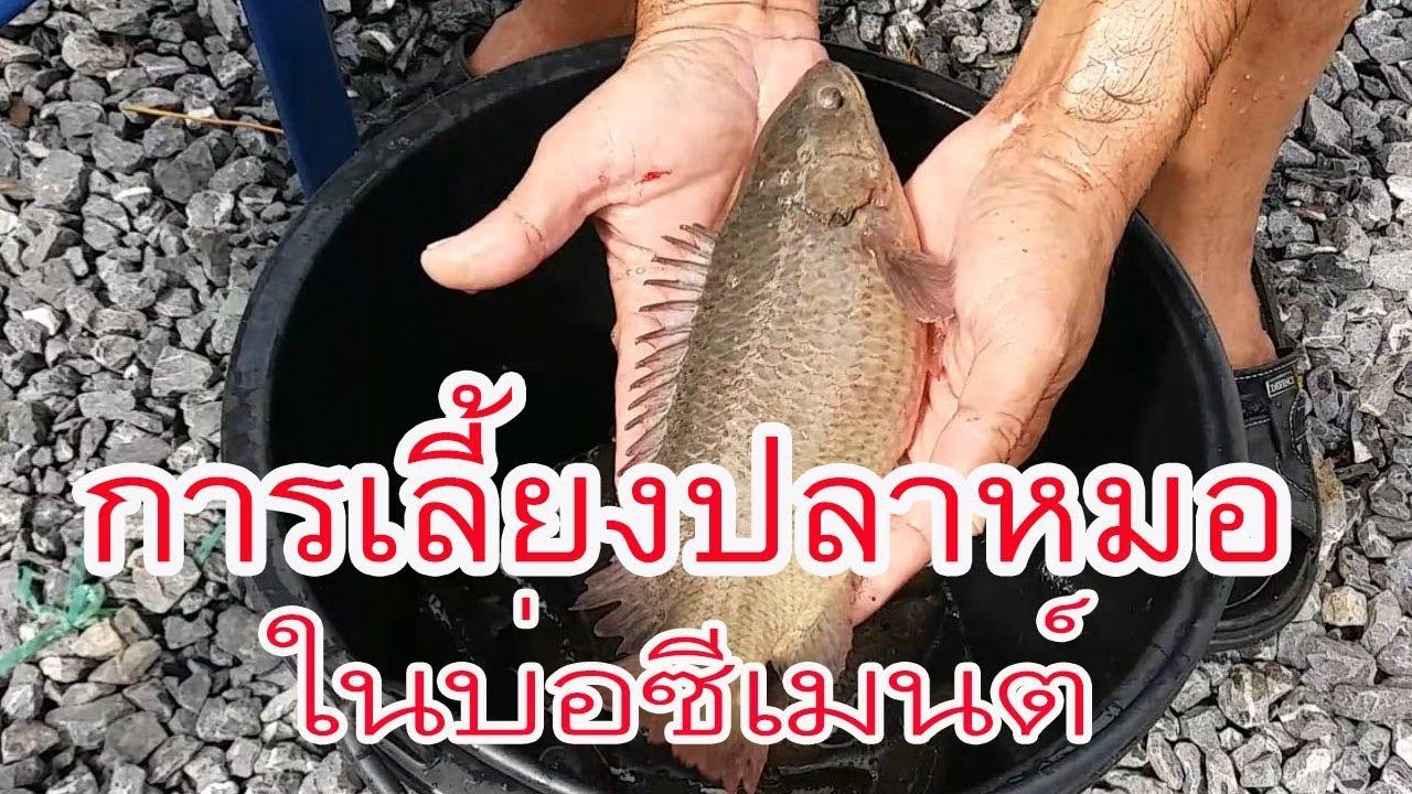 การเลี้ยงปลาหมอ ในบ่อปูน,บ่อซีเมนต์