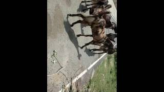 Maqfis goat farm.. specialised for ajmeri goats