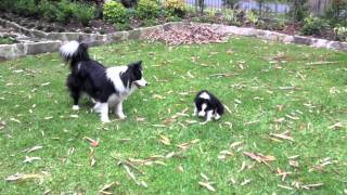 Cutest Border Collie puppy playing ever!