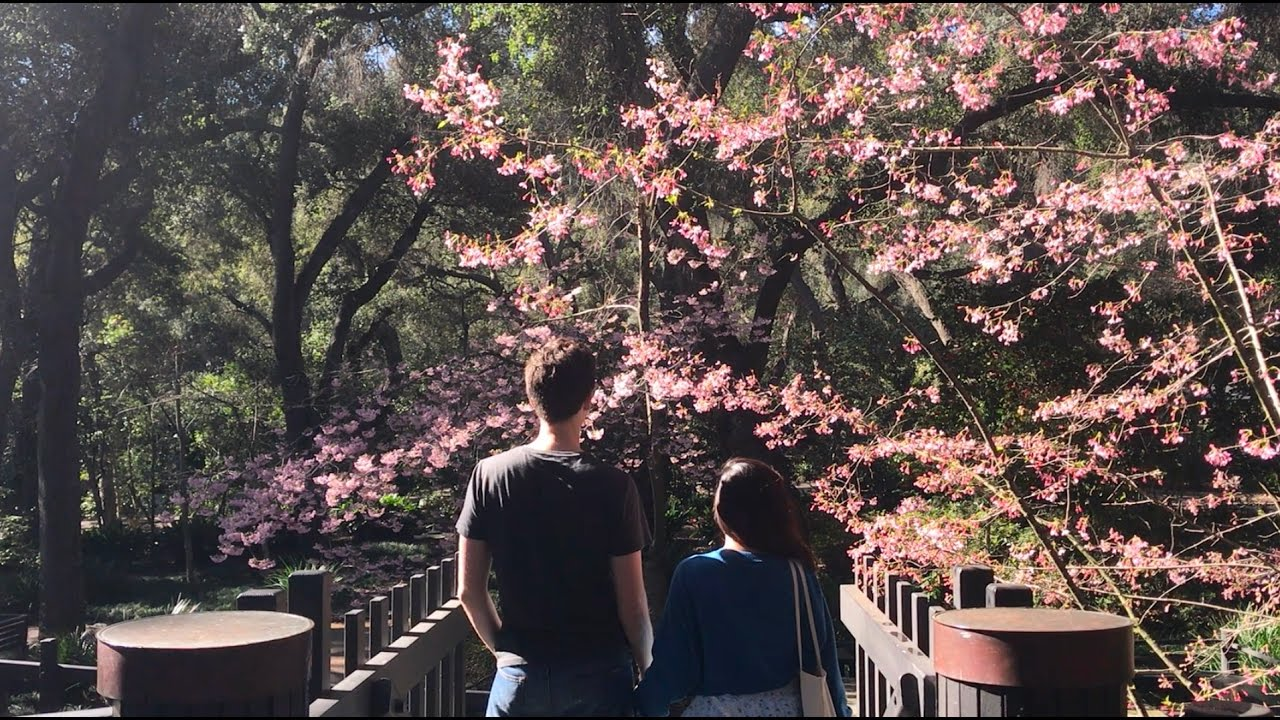 Get Ready For The Cherry Blossom Festival At Descanso Gardens Youtube