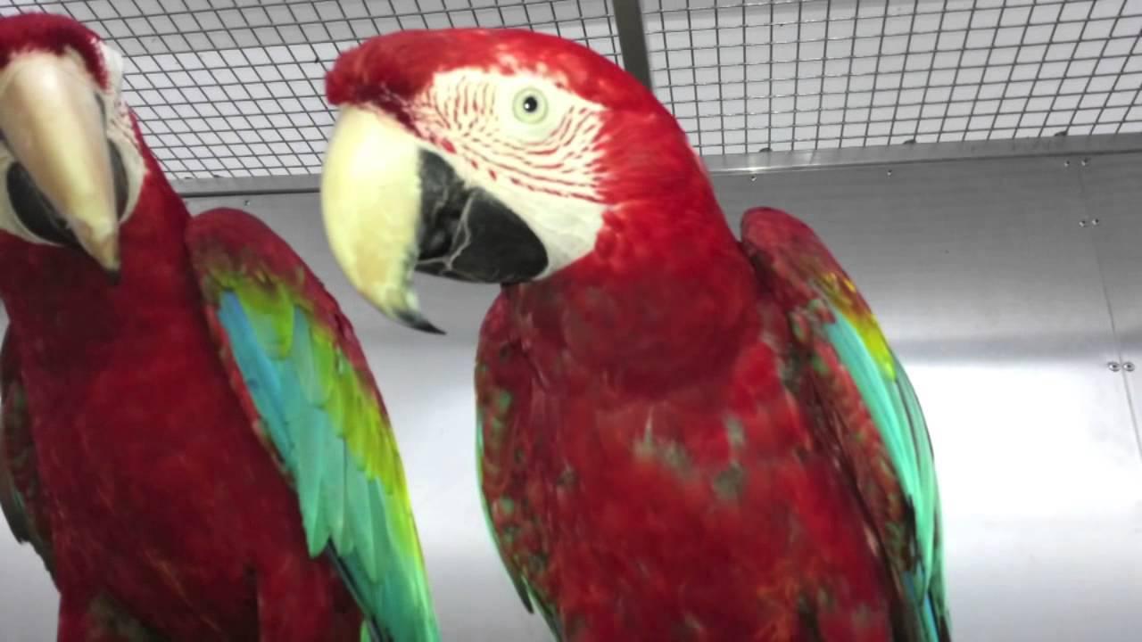 Download Premier Parrots - Breeding Greenwinged Macaw Pair AGWP2