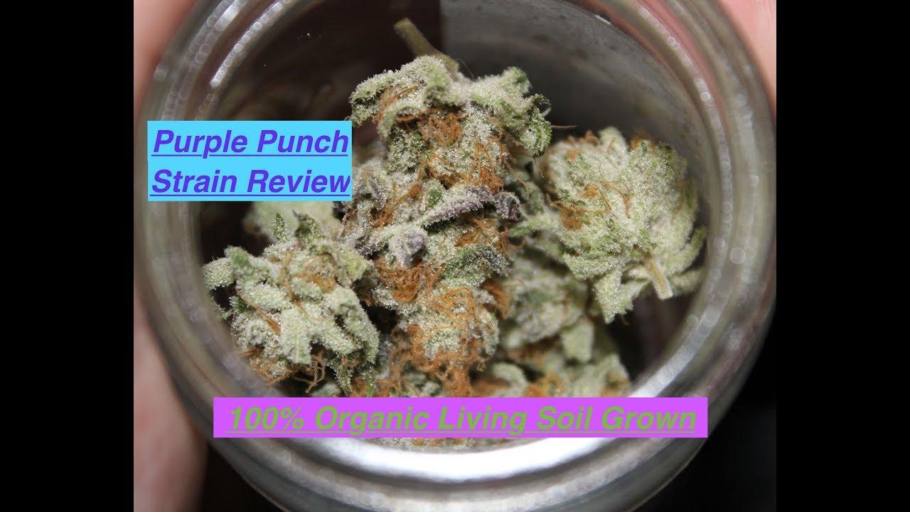 Purple Punch Strain Review | 100% Organic Living Soil Grown