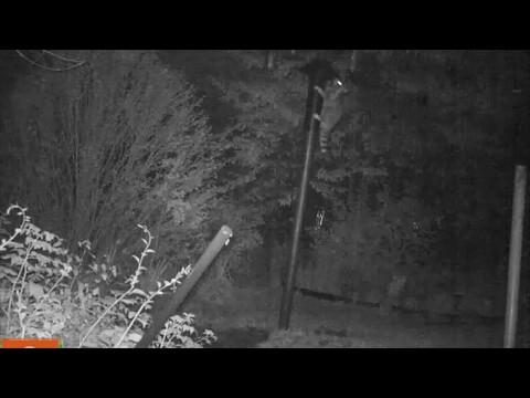 Raccoon Climbing Bear Proof Bird Feeder Pole
