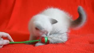 Купить шотландского котенка? Котята для Вас! Шотландские прямоухие кошечки окраса блю-поинт.