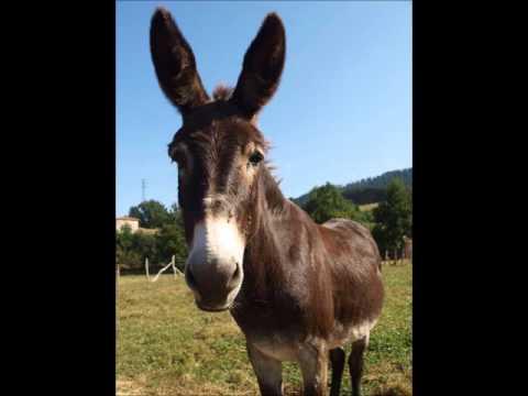 el burro socarron
